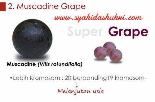 Sejarah sains Vivix: Mengandungi anggur Muscadine yang memiliki tambahan satu kromosom berbanding anggur biasa