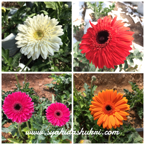 Bunga daisi pelbagai warna di Butterfly Farm, Brinchang, Cameron Highlands