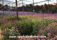 Macam-macam jenis bunga yang ada dekat Lavender Garden, Brinchang, Cameron Highlands